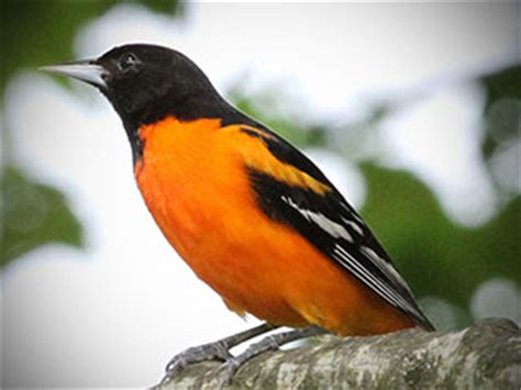 picture of a oriole bird baltimore orchard orioles