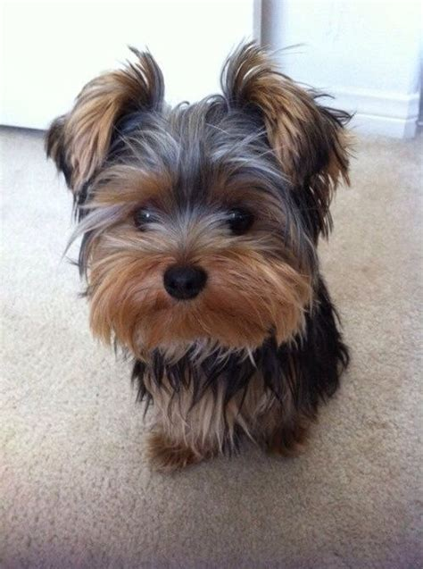 yorkshire terrier haircuts at home yorkie cats and dogs pinterest yorkies animal and dog