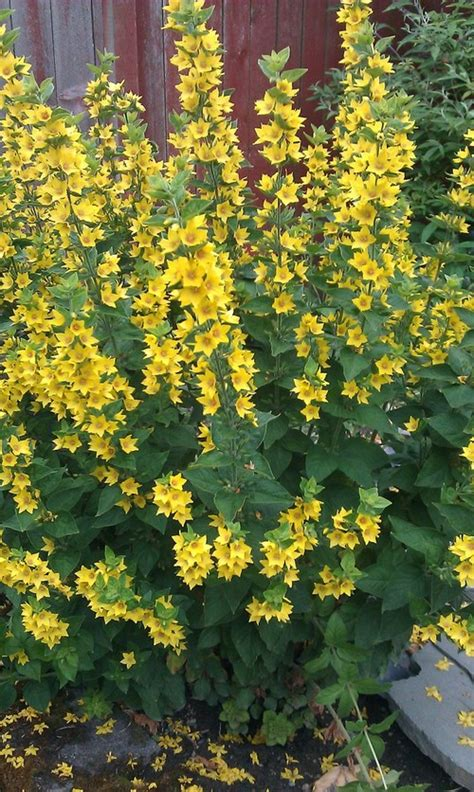 Yellow Garden Flower Spiky Plant With Yellow Flowers Plant With Yellow Flowers Gardening Guide