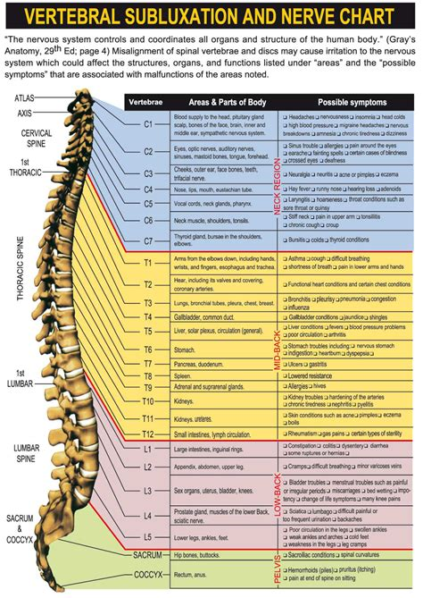 diagram of spine and nerves spinal nerves and their innervations human anatomy