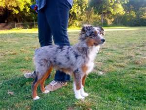 3 month old mini australian shepherd raising a mini aussie mini aussie coat transitions