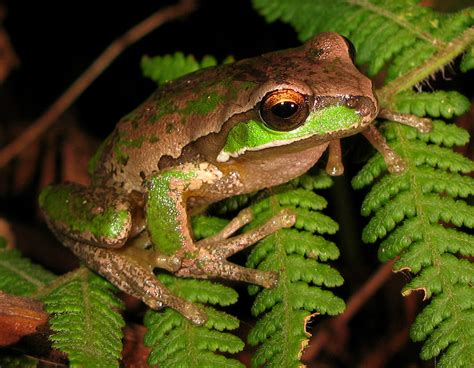 define tree file new tree frog litoria subglandulosa jpg