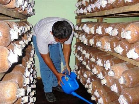 Bibit Untuk Jamur Tiram cara budidaya jamur tiram di rumah untuk pemula cara