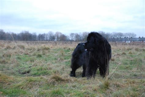 boatswain newfoundland dog when some proud son of man returns to earth