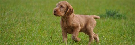 wirehaired vizsla puppies amiryck gundog hungarian wirehaired vizsla and pointer gundogs