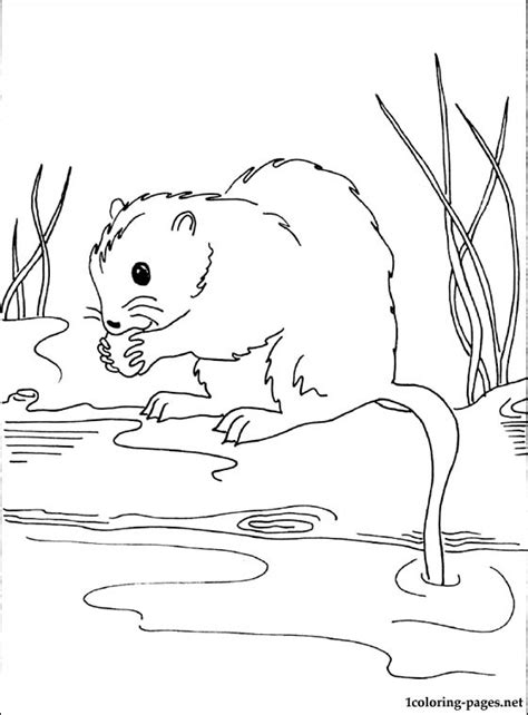 muskrat printable  coloring page coloring pages