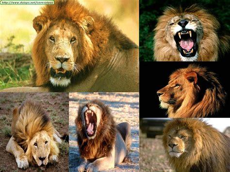 imagenes de leones increibles los leones imagenes de diferentes leones