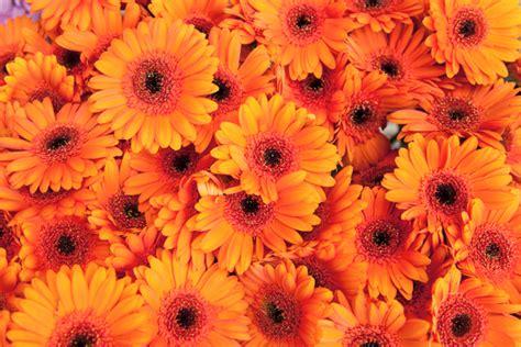 colore fiori qual 232 il significato dei fiori arancioni