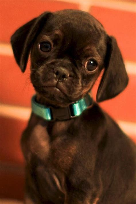 miniature pug 17 best images about muggins on pug miniature pinscher and min pins