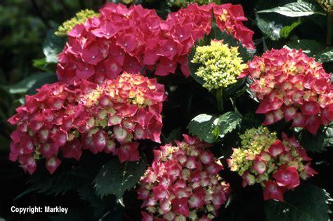 Hortensien Arten Und Sorten 3161 by Gehlhaar Gartenbaumschule Hannover Gt Pflanzen Gt Bl 252 Tengeh 246 Lze