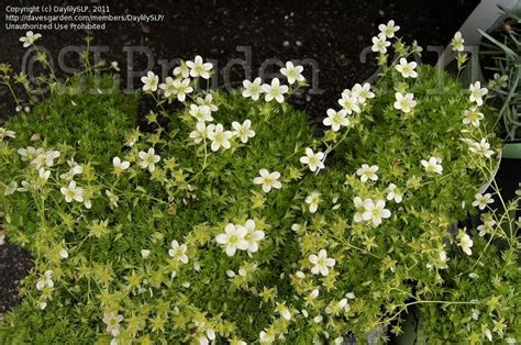 Gardens Dearborn by Plantfiles Pictures Rockfoil Mossy Saxifrage Pan Saxifraga X Arendsii By Daylilyslp