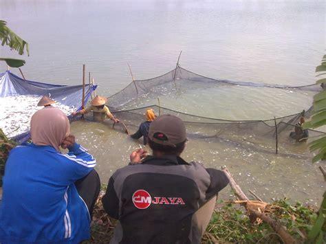 Bibit Bandeng Air Tawar media penyuluhan perikanan pati cara budidaya ikan