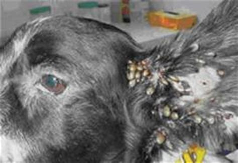 how do dogs get ticks do you ticks and fleas with your dogs viral infections articles