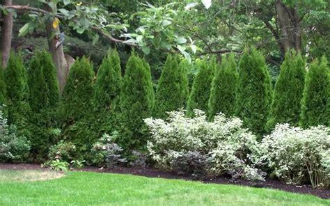 Landscaping Ideas Emerald Green Arborvitae Buy Emerald Green Arborvitae Thuja Occidentalis Emerald