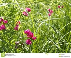flowering tuberous pea among meadow grasses stock photo image 51661655