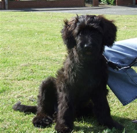 briard puppy briard info temperament care puppies pictures