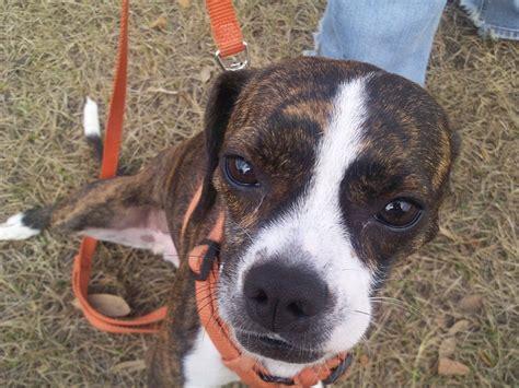 boston terrier mix puppies boglen terrier boston terrier beagle mix info puppies pictures