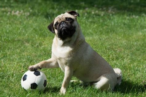 things for pugs breeds 11 things only pug understand metro news