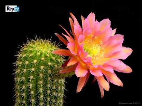 di giorno fiore meraviglia della natura come sbocciano i fiori cactus