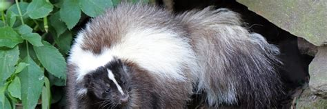 skunk smell in the house how to get skunk smell out of your house critter ridder texas