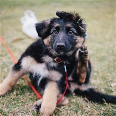 german shepherd puppies cost how much does a german shepherd cost