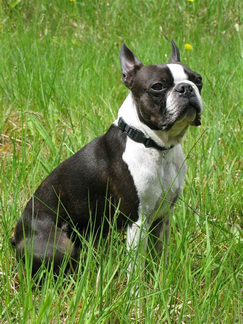 boston terrier boston terrier my rocks