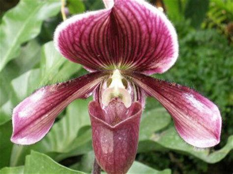 purple slipper orchid purple slipper orchid picture house plants and flowers