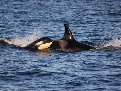 seattle whale watching boat tours killer orca whale watching seattle to san juan islands