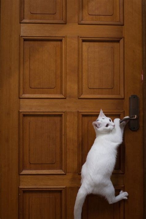 747 best white cats images on pinterest
