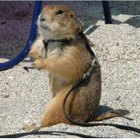 prairie dog pet