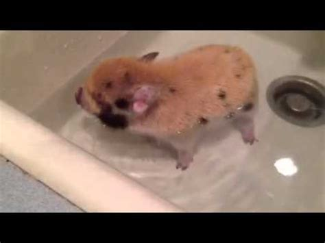 pig in a bathtub mini piglet getting a bath youtube