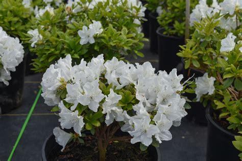 Azalea White hino white azalea compact azalea green leaves single