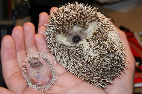 20 adorable pics to celebrate hedgehog day bored panda