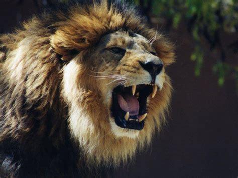 wallpaper free lion wallpapers lion roaring wallpapers