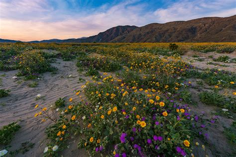 Anza Borrego Super Bloom | anza borrego desert state park wildflower super bloom