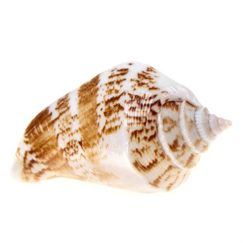 Seashell Door Knobs by Unique Real Sea Shells Door Knobs Drawer Pulls Handles