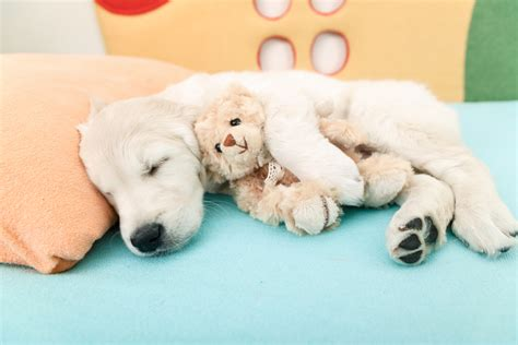 golden retriever knee problems 8 things pet parents can do to help dogs with joint problems iheartdogs