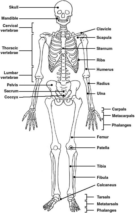 Skeletal System Label Worksheet by The World S Catalog Of Ideas