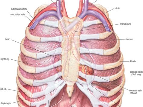 chest diagram the human chest diagram anatomy organ