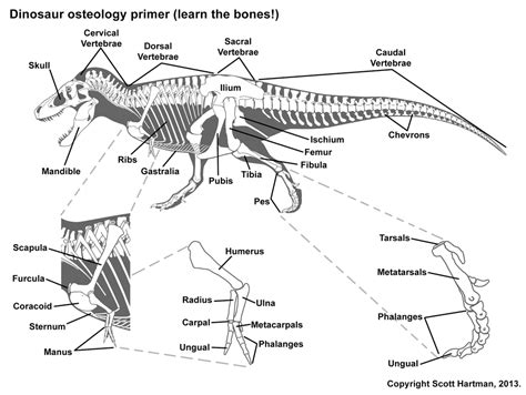 bone guide from scott hartman s anatomy page dinosaurs