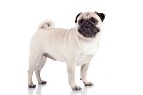 how many puppies can a pug small breed pictures slideshow