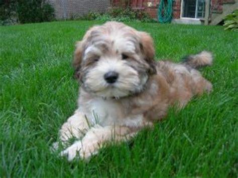 mini doodle til salgs pudel blandinger designer hunde
