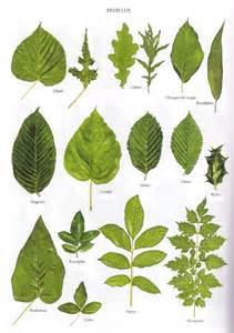 quelques feuilles d arbres krapo arboricole