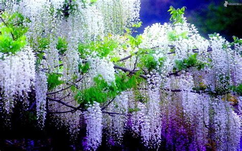 fiori glicine glicine