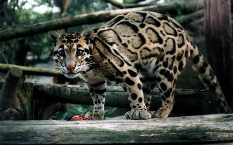 pet leopard escaped  hunted sheep   ran