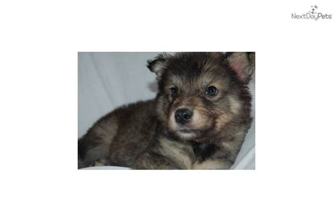wolf puppies for sale in nc wolf hybrid puppy for sale near winston salem carolina 7bf5eb63 8031