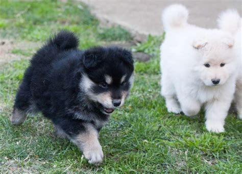 lapphund puppies lapphund breed information and images k9 research lab