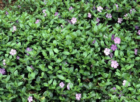 kletterpflanzen halbschatten landscape ground cover dooley landscape designs albuquerque