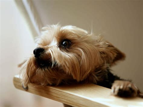 yorkie wallpapers top the beautiful yorkie wallpapers