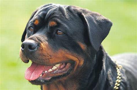rottweiler attacks rottweiler attack breeds picture